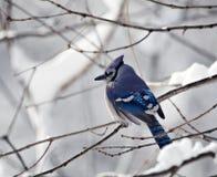 Blauwe Vlaamse gaai met SneeuwAchtergrond royalty-vrije stock afbeeldingen