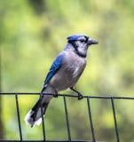 Blauwe Vlaamse gaai op de omheining Stock Afbeeldingen