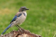 Blauwe Vlaamse gaai op een logboek Royalty-vrije Stock Fotografie