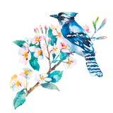 Blauwe Vlaamse gaai op een witte achtergrond enkel Geregend watercolor Vector Royalty-vrije Stock Foto's