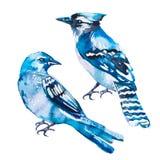 Blauwe Vlaamse gaai op een witte achtergrond watercolor Vector Royalty-vrije Stock Afbeelding