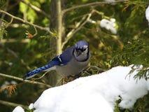 Blauwe Vlaamse gaai op sneeuw royalty-vrije stock fotografie