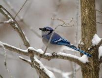 Blauwe Vlaamse gaai op SneeuwDag stock foto