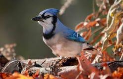 Blauwe Vlaamse gaai tijdens de herfst Royalty-vrije Stock Foto