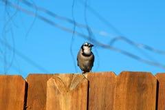 Blauwe Vlaamse gaaivogel op omheining die weg eruit zien Royalty-vrije Stock Foto