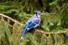Blauwe Vlaamse gaaizitting op een tak Royalty-vrije Stock Foto