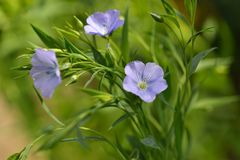 Blauwe Vlasbloemen, Linum-usitatissimum Stock Foto