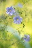 Blauwe vlasbloemen op zachte groene achtergrond Artistiek beeld van bloemen Royalty-vrije Stock Afbeelding
