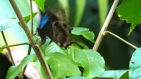 Blauwe Vlinder stock video
