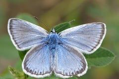 Blauwe vlinder Stock Afbeeldingen