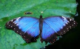 Blauwe vlinder Royalty-vrije Stock Foto