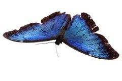 Blauwe Vlinder Royalty-vrije Stock Afbeeldingen