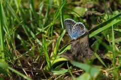 Blauwe vlinder 2 stock foto's