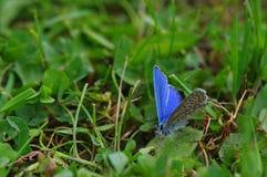 Blauwe vlinder 3 royalty-vrije stock afbeeldingen