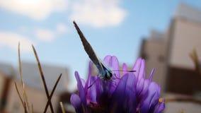 Blauwe vlinder | De Schoonheid van Bestuiving royalty-vrije stock foto's