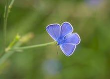 Blauwe vlinder die op het gras rusten Stock Afbeeldingen