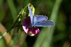 Blauwe vlinder die zijn vleugels uitspreiden royalty-vrije stock fotografie