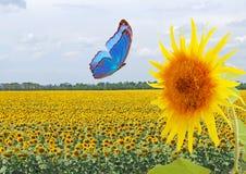 Blauwe vlinder en zonnebloem Stock Afbeeldingen