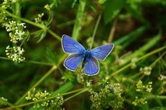 Blauwe vlinder in gras Stock Afbeeldingen