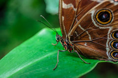 Blauwe vlinder Morpho Royalty-vrije Stock Foto