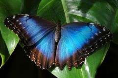 Blauwe Vlinder Morpho Royalty-vrije Stock Afbeelding
