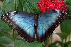 Blauwe Vlinder Morpho Stock Foto