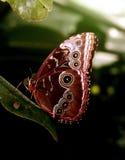Blauwe vlinder Morpho Stock Foto's