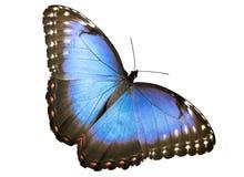 Blauwe vlinder Morpho stock fotografie