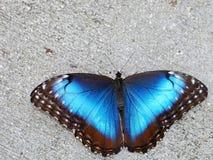 Blauwe Vlinder Morpho (Hogere kant) Royalty-vrije Stock Foto