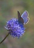 Blauwe vlinder op blauwe bloem royalty-vrije stock afbeelding