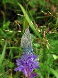 Blauwe vlinder op bloem Stock Fotografie