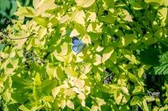 Blauwe vlinder op groene bladeren in de lente stock foto