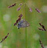 Blauwe vlinder op het gras Stock Foto