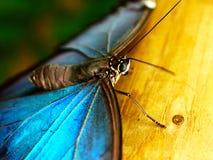 Blauwe vlinder op hout Royalty-vrije Stock Afbeelding