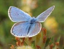 Blauwe vlinder (polyommatus Icarus) macro Stock Foto