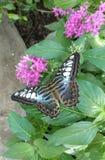 Blauwe vlinder in Tennessee Aquarium stock foto
