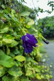 Blauwe vlindererwt of Clitoria-ternatea royalty-vrije stock foto's