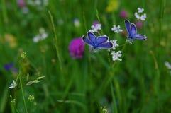 Blauwe vlinders royalty-vrije stock foto