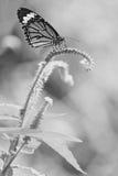 Blauwe vlindervlieg in zwart-witte de stijl van de ochtendaard Stock Afbeelding