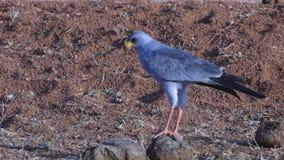 Blauwe Vogel stock video