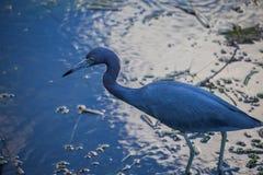 Blauwe Vogel Stock Foto's