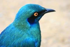 Blauwe Vogel Royalty-vrije Stock Afbeeldingen