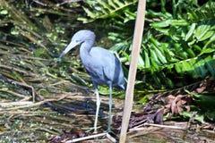 Blauwe vogel die zich in het water bevinden stock afbeelding