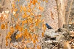 Blauwe vogel die zich op de rots bevinden Stock Afbeeldingen