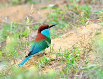 Blauwe vogel (het Blauw throated Bijeneter) Royalty-vrije Stock Foto
