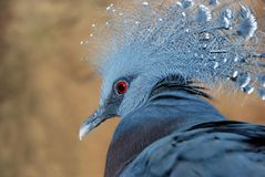 Blauwe vogel met rode ogen stock afbeeldingen