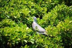 Blauwe vogel in struik Stock Foto