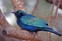 Blauwe vogel van happyness royalty-vrije stock fotografie