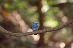 Blauwe Vogel Zwart-Naped monarch Stock Foto