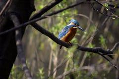 Blauwe vogelijsvogel Stock Foto's